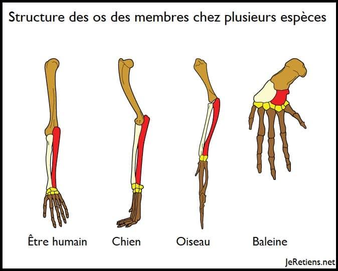 Les preuves de l'évolution dans les os similaires des pattes des différentes espèces