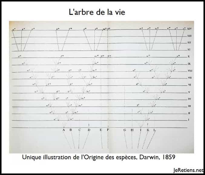 Arbre évolutif ou phylogénétique aussi nommé arbre de la vie de Darwin