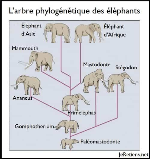 Arbre évolutif ou phylogénétique des éléphants