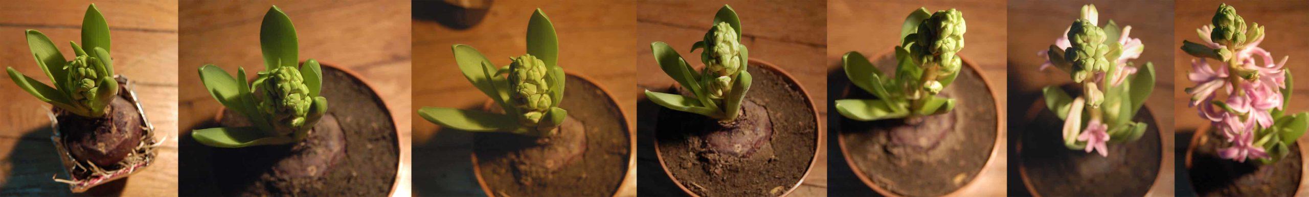 Les différentes étapes de la floraison d'une fleur