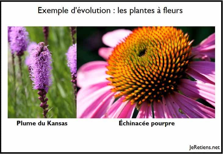 Exemple d'évoluton des fleurs à partir d'un ancêtre commun