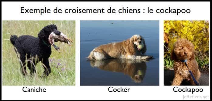 Exemple de reproduction de différentes races de chiens au sein de la même espèce