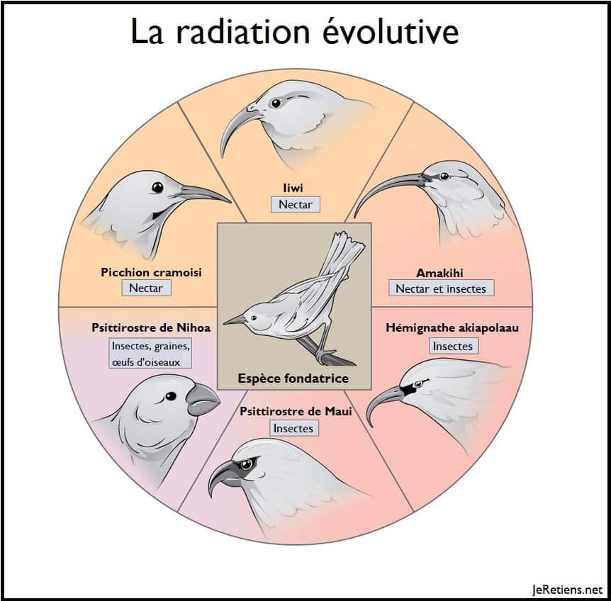 Schéma illustratif de la radiation évolutive des oiseaux à partir d'une espèce fondatrice
