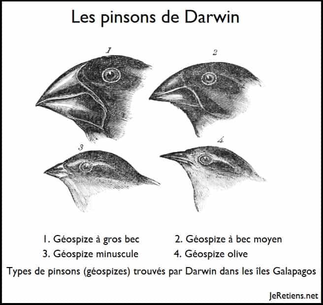Les pinsons (géospizes) de Darwin