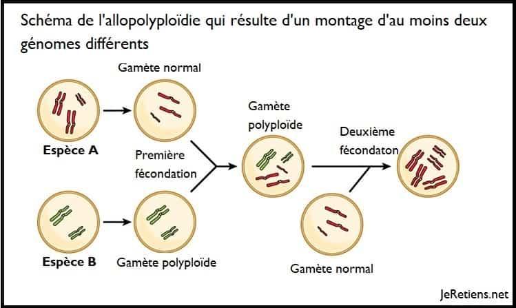 Qu'est-ce que l'allopolyploïdie et la polyploïdie ?
