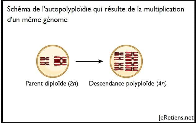Que sont la polyploïdie et l'autopolyploïdie ?