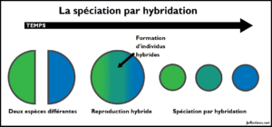 Qu'est-ce que la spéciation par hybridation ?