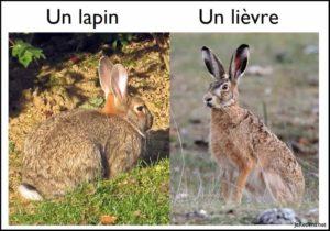 Quelle est la différence entre un lapin et un lièvre ?