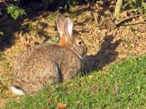 Un lapin de garenne
