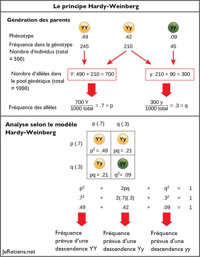 Loi de Hardy-Weinberg et principe d'équilibre