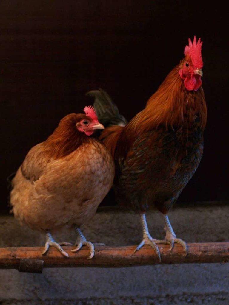 Quelle est la différence entre une poule et un coq ?