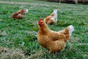 Quelle est la différence entre une poule et un poulet ?