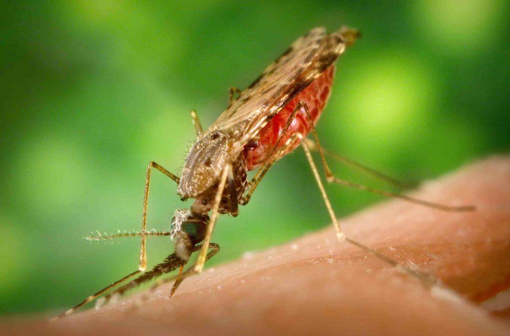 Comment le moustique transmet-il le paludisme ?